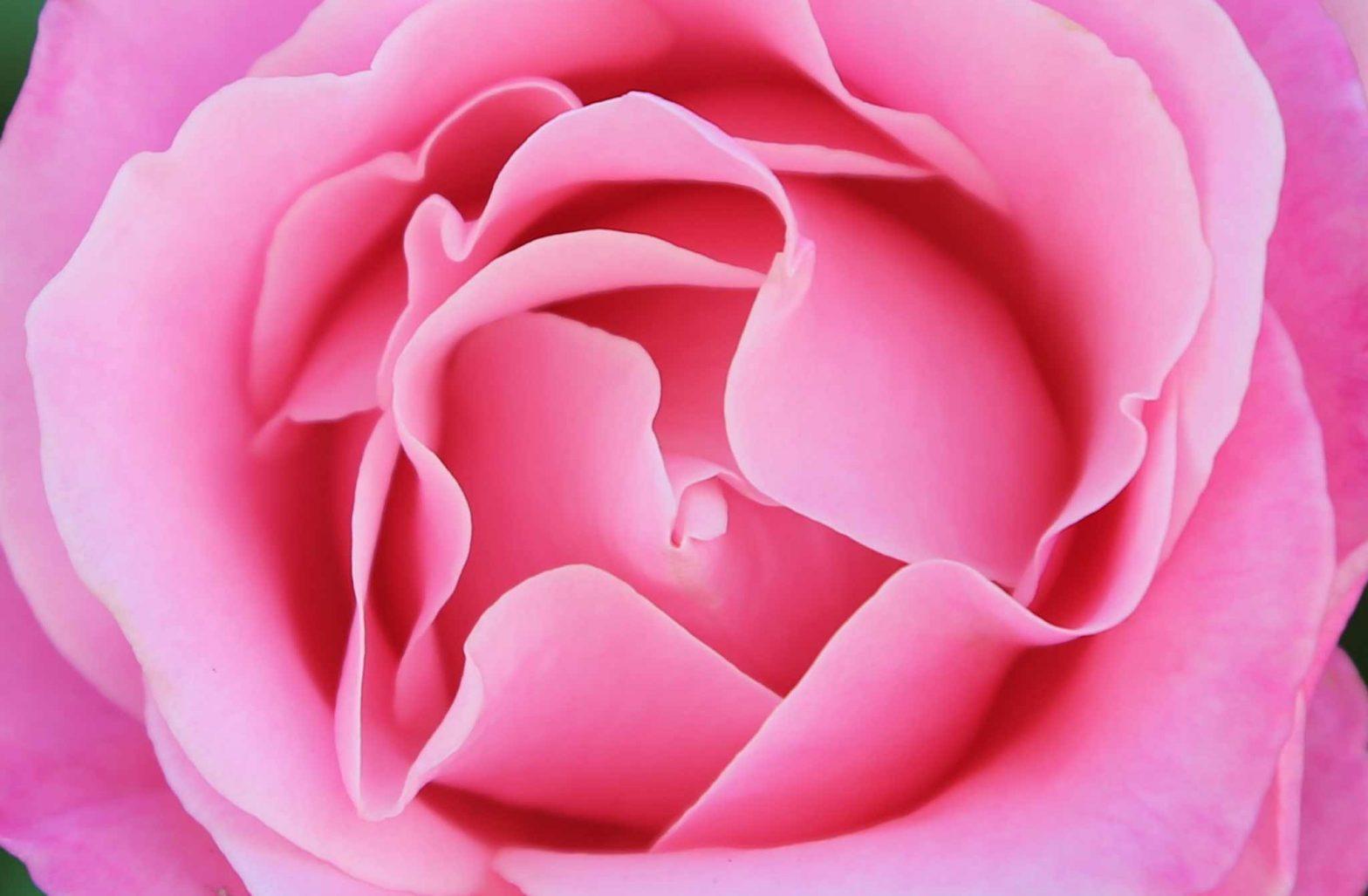 Eros Rose