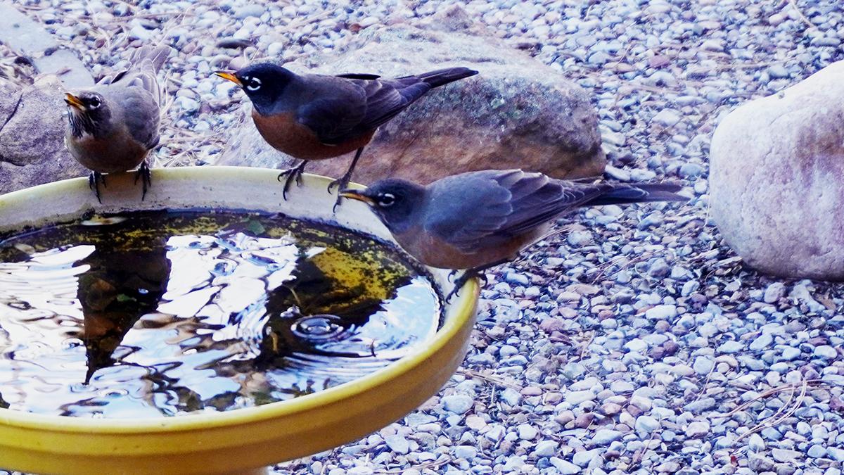 3 Robins Midwinter
